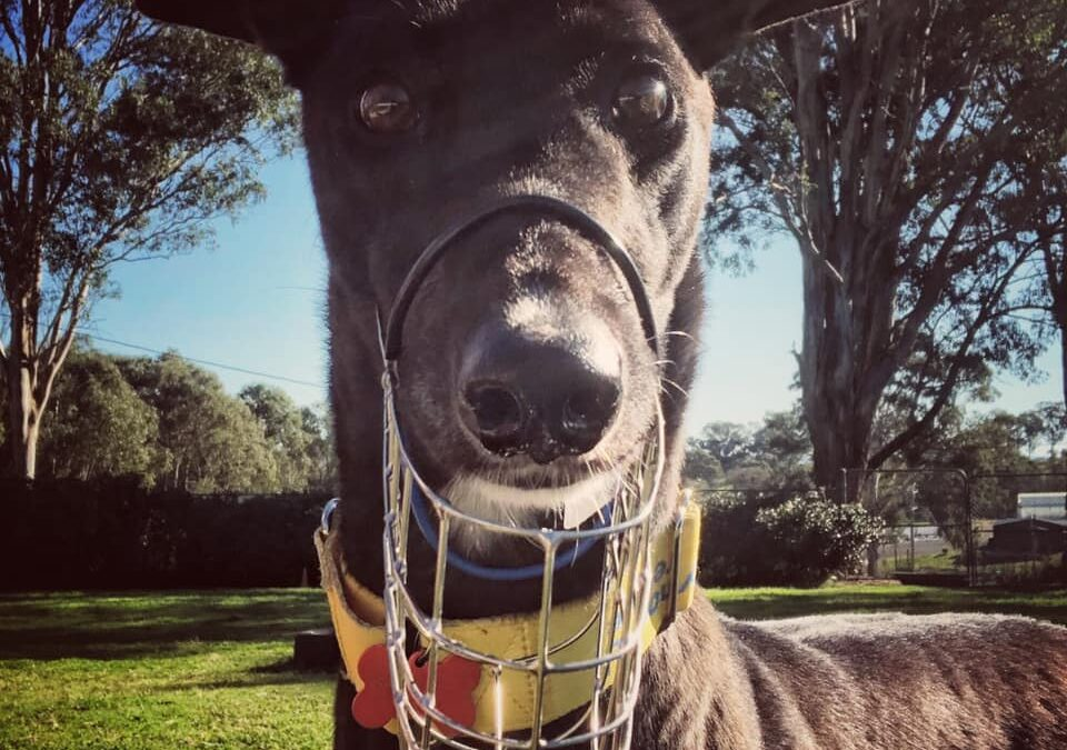Greyhounds and muzzles