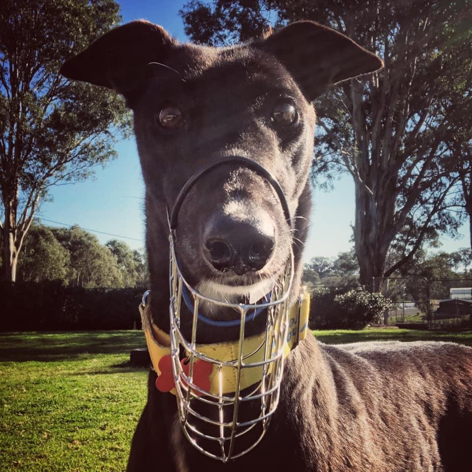 greyhound with muzzle