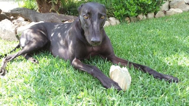Travis: a happy, inquisitive hound